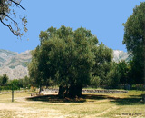 Old Olive tree, Bar, Montenegro
